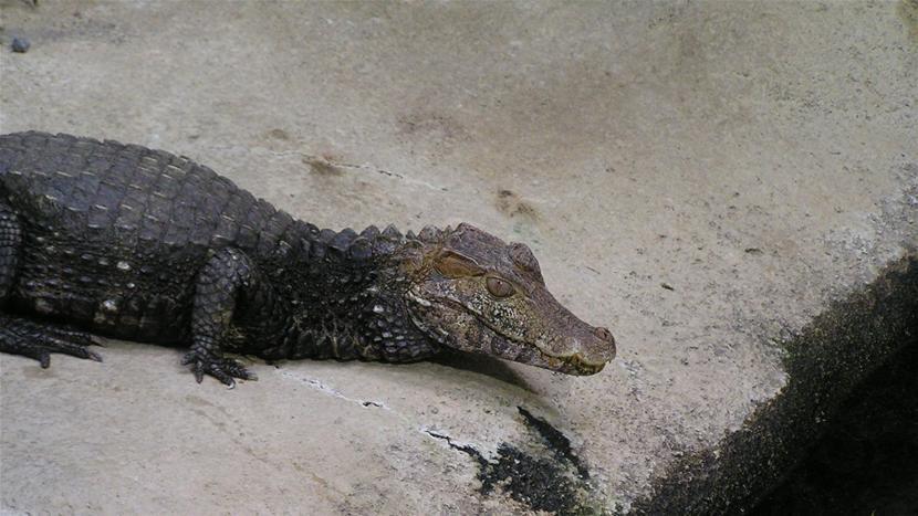 Krokodillebestand på Bornholm er vokset markant | Viden | DR