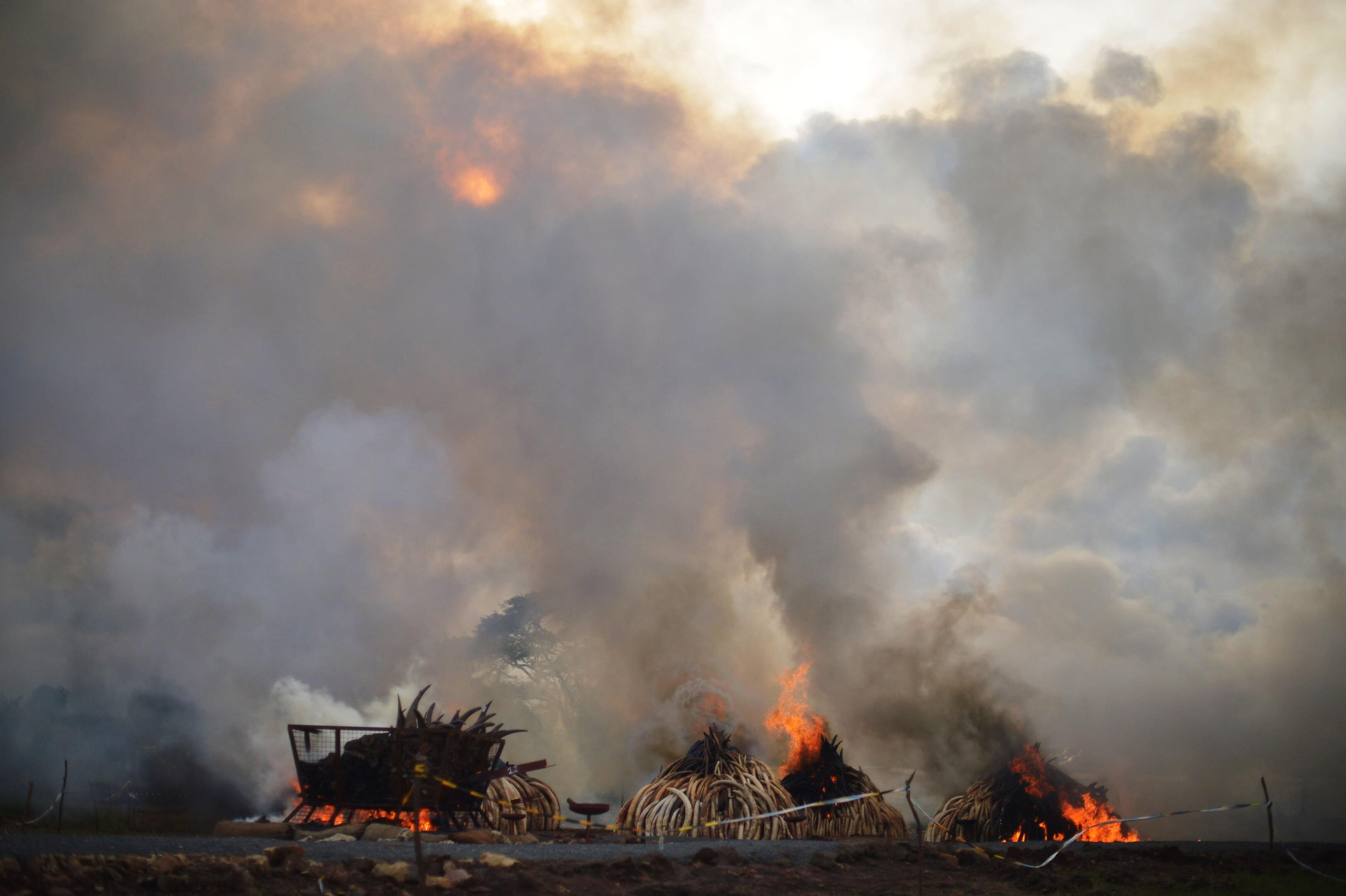 Kina vil forbyde handel med elfenben næste år   Udland   DR