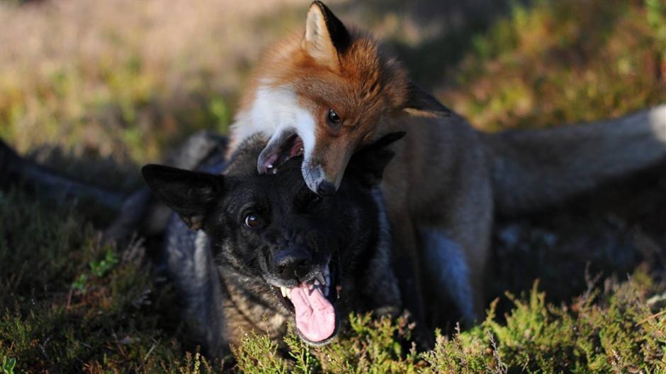 fox fjender tape til brysterne