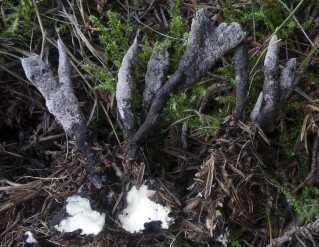 Svampen på billedet er knoldet stødsvamp (Xylaria bulbosa). Svampearten var ikke fundet noget sted i verden siden 1870, men amatøren Jesper Moeslund fandt den under en enebærbusk i Mols Bjerge i forbindelse med Biowide-projektet.