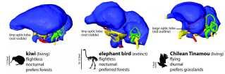 Her ses en sammenligning mellem blandt andet elefantfuglen og kiwier. Rekonstruktionen viser ligheder mellem de to fugle-familiers hjerner.