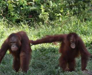 Orangutangen er en af de allermest truede dyr i verden.