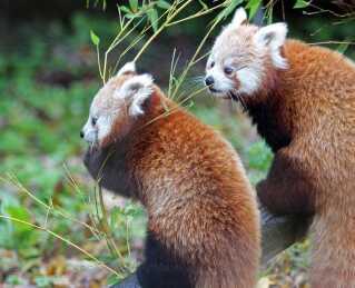 Amber og hendes søster, Autumn, blev født i Belfast Zoo i sommer.