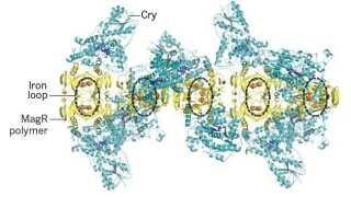 Den biologiske kompasnål består af ringe af MagR, der binder jern (iron), omgivet af en helix af cryptochrome (Cry), der reagerer på lys. Ifølge de kinesiske forskere er det proteinet, der giver dyr deres  magnetiske sans.