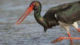 Sort stork.