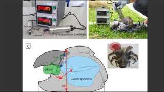 Her viser forskerne, hvordan de har testet klemstyrken på krabbekloen.