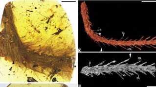 At ryghvirvlerne er klar definerede og ikke smeltet sammen, viser ifølge forskerne, at der er tale om en dinosaur og ikke en tidlig fugl.