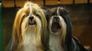Små hunderacer som shih Tzu og chihuahua er især populære blandt de unge hundeejere, siger Lise-Lotte Christensen fra Dansk Kennelklub.