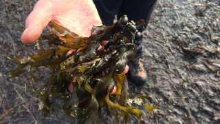 Blæretangen er nem at kende på de små bobler, der smælder, når man trykker på dem. De er nemme af finde langs stranden, men vil du spise dem, så skal du finde tangen ude i havet, hvor de er friske.