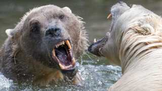 Billedet af de to mokka-bjørne er taget den 11. juni 2015 i Osnabrueck Zoo i Osnabrueck i Tyskland. På engelsk hedder hybriden, der opstår mellem brun bjørn og isbjørn pizzly bear / grolar bear. (Foto: FRISO GENTSCH © FRISO GENTSCH og Scanpix)
