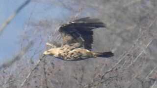 Kejserørnen har et vingefang på knap to meter.