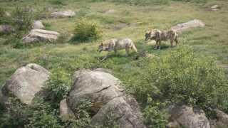 I naturreservatet Les Loups de Chabrières i Frankrig lever 35 ulve, som hvert år får besøg af 50.000 gæster.