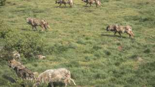 Præsident Emmanuel Macrons regering ser gerne ulvebestanden vokse til 500 i løbet af de næste fem år.