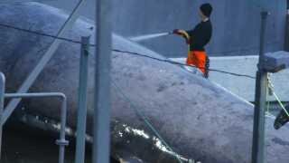 Hvalen spules af en medarbejder hos Hvalur hf
