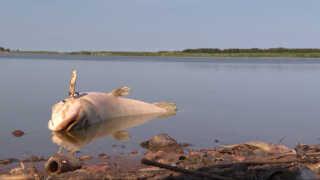 Fiskene i Hestholm Sø er i den grad ramt af varmen.