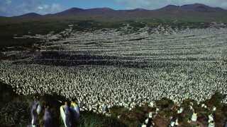 Sådan så kongepingvin-kolonien ud i 1982 på Ile aux Cochons. Her var der langt flere pingviner end i dag.