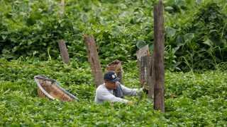 En bonde høster afgrøden vandspinat forud for tyfonen Mangkhut, der forventes at rasere store landbrugsområder.