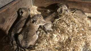De nyfødte løveunger i Odense Zoo - tre hunner og en han.