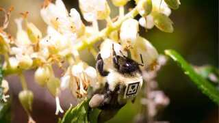 """Forskerne fra Harvard University har bugt """"skjult kamera"""" og simple QR-koder til at spore bierne og deres adfærd efter, at de har været udsat for neonikotinoider,"""