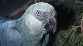 Cyanopsitta spixii Little blue macaw In zoo. Loro Parque Canary Islands, Spain