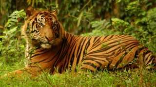 Jagt og manglende levesteder har gjort, at der kun er 400 individer tilbage af sumatratigeren.
