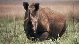 Northern white rhinoceros (Ceratotherium simum cottoni ), Garamba National Park, Democratic Republic of Congo (Zaire). Project number: ZR0009