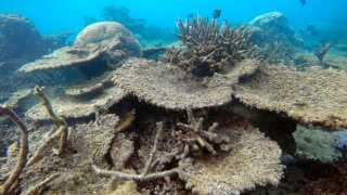 Billedet her er fra Great Barrier Reef i Australien, hvor korallerne i flere områder har været ramt af såkaldt koralblegning flere år i træk. Blegning sker, når korallerne udsættes for stresspåvirkninger - bl.a. når havtemperaturen stiger gennem en længere periode som under en marin hedebølge.
