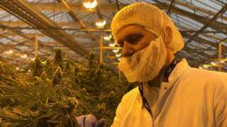 Direktør Morten Snede betragter de planter, der har givet virksomheden Spectrum Cannabis tilladelse til at producere medicinsk cannabis.