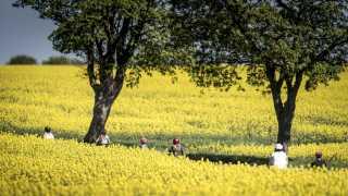 Smukt ser det ud med de gule rapsmarker landet over.