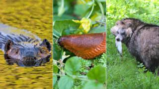 Bævere, dræbersnegle og mårhunde er nogle af de dyr i danske natur, som skaber debat.