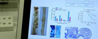 På billedet kan man til venstre se, hvordan kræftknuderne forsvinder, når man behandler med Hamlet. Det er et før og efter billede.