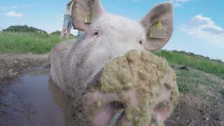 En glad gris ruller rundt i mudderet på Hans Erik Jørgensens marker på sydfyn.