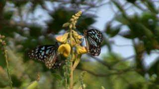 Der findes 180 sommerfuglearter på det økologiske hotel i Kerala.