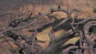 Her et afbrændt træ  efter en mindre brand i naturen ved Klim i Nordjylland.