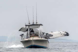 Pukkelhvalen bliver omkring 15 meter lang og vejer 30-35 ton. Hvalen kan findes over det meste af verden og er også set i Danmark.