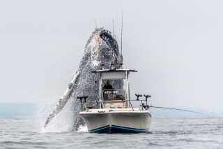 Fotografen fortæller, at pukkelhvalerne kommer til Monterey-bugten for at finde føde i sommerhalvåret. Den pågældende pukkelhval havde sprunget flere gange, og Douglas Croft prøvede at forudse, hvor den ville springe næste gang.
