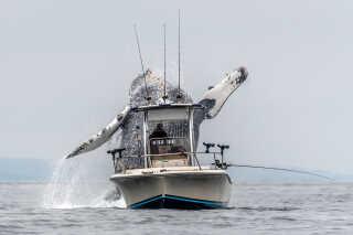 Da pukkelhvalen sprang, stod fotografen klar ved et koøje tæt på vandlinjen, hvilket giver den optiske fornemmelse af at kigge op på hvalen.