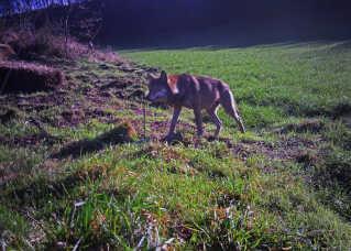 Forskerne formoder, at det er denne ulv, der er vandret gennem landet. Billedet er taget med et vildtkamera den 8. november øst for Skive.