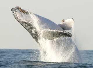 Her er det en pukkelhval, der springer ud fra Sydafrikas kyst i 2004. Netop det farvand er et stort spisekammer for hvalerne, hvor kolde arktiske strømme møder mere lune farvande.