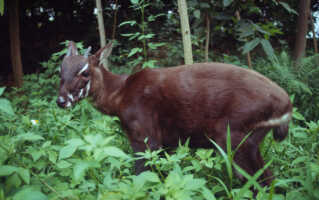 Pseudoryx nghetinhensis - Saola 4 to 5 month old female at the Forest Inventory & Planning Institute botanical garden Ministry of Forestry, Hanoi, Vietnam