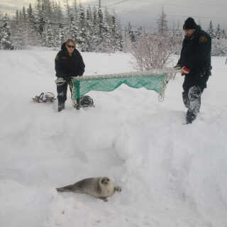 Fishery Officers from Fisheries and Oceans Canada (DFO) relocate a stranded seal near local residences, to open water in Roddickton-Bide Arm, Newfoundland, Canada, in photo received January 11, 2019. Fisheries and Oceans Canada/Handout via REUTERS THIS IMAGE HAS BEEN SUPPLIED BY A THIRD PARTY. MANDATORY CREDIT