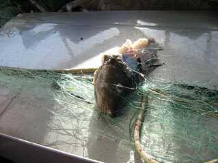 En iturevet torsk sidder tilbage i fiskenettet, efter at en sulten sæl har været på besøg.