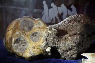 Her er skeletrester af den unge han, som er en af de to menneskelignende væsner. Det er den amerikanske palæontolog Lee Berger, der sammen med sine kolleger har analyseret skeletresterne fra Sydafrika. Det er dog Lee Bergers søn, Matthew Berger, der gjorde opdagelsen. Han var ni år, da han på tur med sin far fandt et opsigtsvækkende fossil i den såkaldte Malapa-hule.