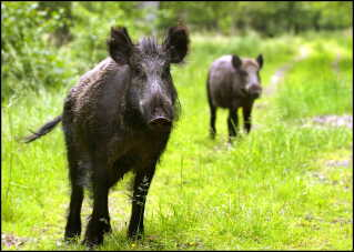 rkiv- SE RUTZAU Ulven kommer men vildsvin er her allerede BV.: ARKIVFOTO. Ifølge ny statistik blev 200 vildsvin skudt i 2012. Vildsvin meget tæt på Danmark - arkivfoto af vildsvin i Lille Vildmose. Vildsvin i stort tal er kommet over Kieler-kanalen og fortsætter nordpå. Der er nu set vildsvin i Leck lige syd for Tønder, og det kommende år vil vildsvin trænge ind i Danmark. Så klar var meldingen, da danske og tyske politikere i miljøudvalget under den grænseoverskridende organisation Region Sønderjylland-Schleswig tirsdag mødtes i Haderslev, skriver JydskeVestkysten. -Store vildsvinebestande bevæger sig, og øger jægerne ikke jagten på dem, vil bestanden fordobles på fem-ti år, sagde Heiko Schmüser fra Kiel Universitetet. Der er endda set eksempler på, at hvor der for få år siden var 100 vildsvin i et område, er der nu 1000. Direktør Thomas Secher Jensen fra Naturhistorisk Museum i Århus ser gerne vildsvin i danske skove. Han peger på, at den største risiko for svinepest ikke kommer fra vildsvin, men fra turister, der smider affald i naturen. (. (Foto: Morten Juhl/Scanpix 2006)
