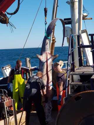 Fiskerne fik sig noget af en overraskelse, da de fik kæmpehajen i nettet. Indvoldene alene vejede cirka 50 kilo.