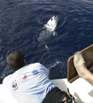 Efter fangst og mærkning sættes tunen fri i vandet igen. (Arkivfoto).