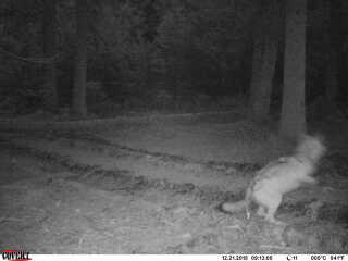 Her er den ulv, som et vildtkamera fangede i Midtjylland i december sidste år.