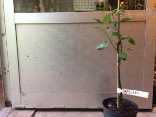 Kajtræet er omkring 50 cm højt.
