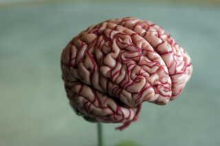 Hjernebarken er den yderste del af hjernen og altså bl.a. det, du ville kunne se, hvis du åbnede op for kraniet og kiggede ned.