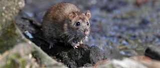 Sygdommen bliver udløst, hvis urin fra inficerede rotter - eller andre gnavere - kommer i forbindelse med sår eller rifter.